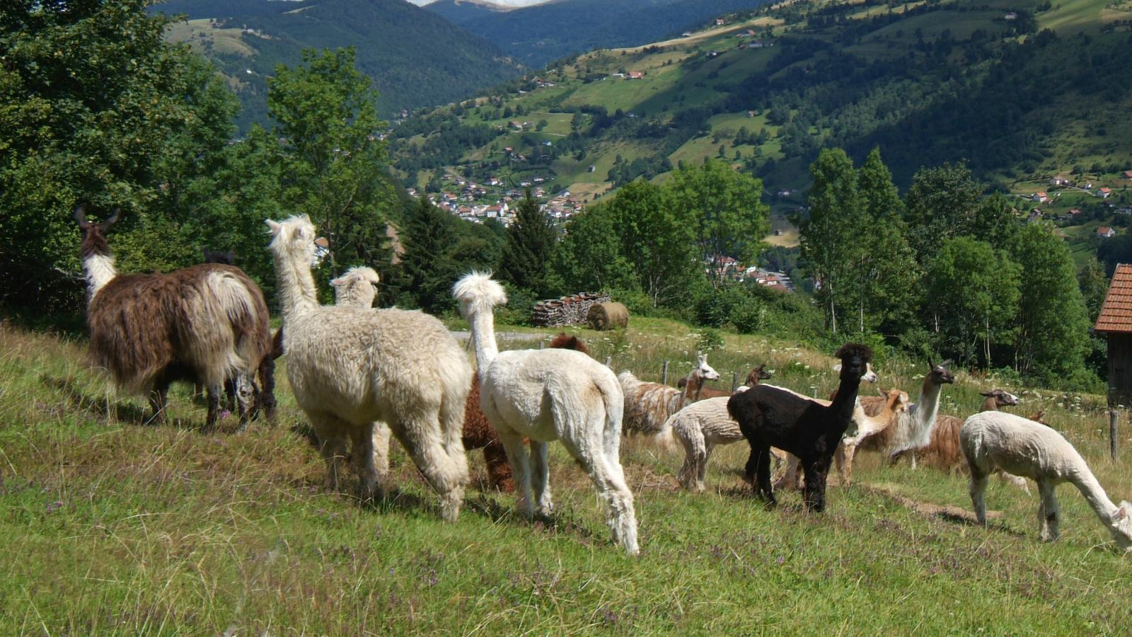La montagne des Lamas u00e0 la Bresse