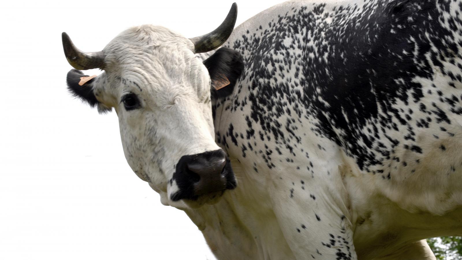 Vache de la ferme du Saichy u00e0 La Bresse