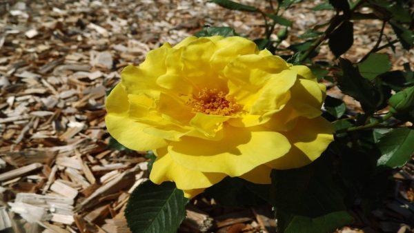 Fleur Copy Aux Pétales Rouges