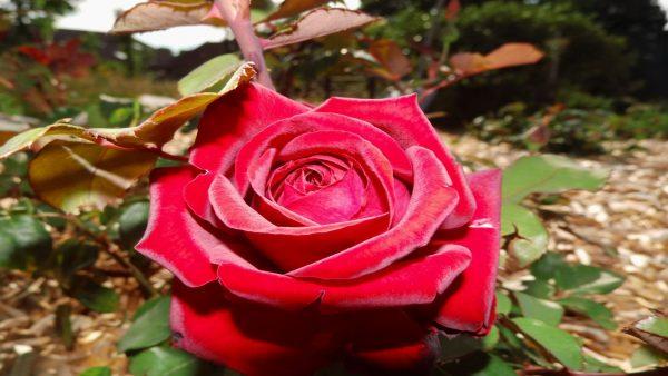Rose 2 Copy Aux Pétales Rouges
